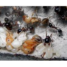 Красногрудый муравей-жнец (Messor denticulatus) (Матка + расплод + 6-20 рабочих)